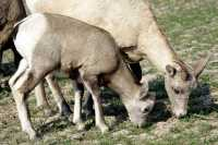 Big Horn Sheep Mother and Lamb CM11-29