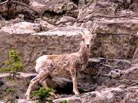 Bighorn Sheep Ewe 15