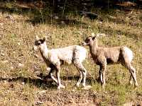 Big Horn Sheep Ewes 17