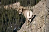 Big Horn Sheep, Jasper National Park CM11-01