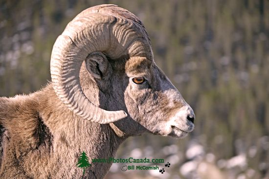 Big Horn Sheep, Jasper National Park CM11-03