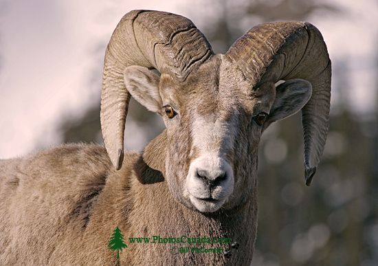Big Horn Sheep, Jasper National Park CM11-04