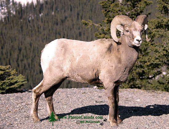 Big Horn Sheep, Jasper National Park CM11-05