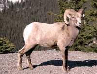 Big Horn Sheep, Jasper National Park CM11-05