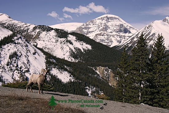 Big Horn Sheep, Jasper National Park CM11-06