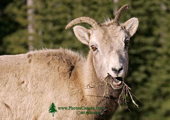 Big Horn Sheep, Jasper National Park CM11-07