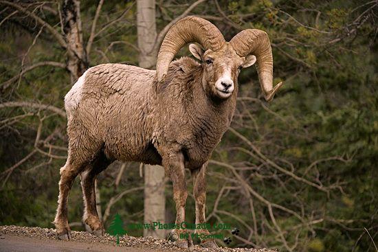 Big Horn Sheep, Jasper National Park CM11-09