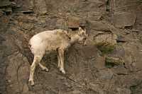 Big Horn Sheep, Jasper National Park CM11-11