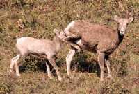 Big Horn Sheep and Lamb, Kananaskis Park CM11-14