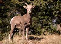 Big Horn Sheep, Banff National Park CM11-15