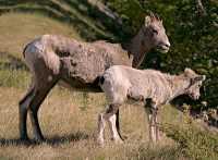 Big Horn Sheep and Lamb, Banff National Park CM11-16