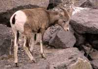 Big Horn Sheep, Banff National Park CM11-18
