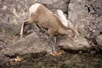Big Horn Sheep, Jasper National Park CM11-19