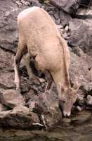 Big Horn Sheep, Jasper National Park CM11-20