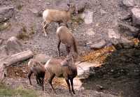 Big Horn Sheep, Jasper National Park CM11-21