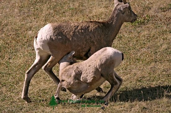 Big Horn Sheep and Lamb, Kananaskis Park CM11-23