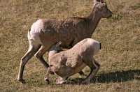 Big Horn Sheep and Lamb, Kananaskis Park CM11-23