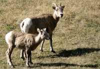 Big Horn Sheep, Kananaskis Park CM11-24