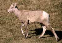 Big Horn Sheep, Kananaskis Park CM11-25