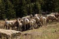 Big Horn Sheep Herd, Kananaskis Park CM11-30