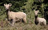 Big Horn Sheep, Kananaskis Park CM11-32