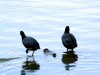 American Coot 06