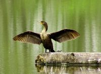 Double Crested Cormorant 05
