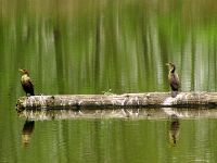 Double Crested Cormorant 04