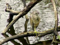 Yellow Crowned Night-Heron 09