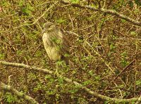 Yellow Crowned Night-Heron 10