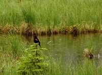 Blackbird 14