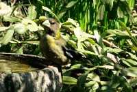 Yellow Grosbeak CM11-27