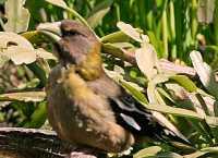Yellow Grosbeak CM11-26