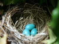 American Robin Eggs CM11-21
