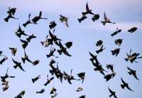 Starling Flock, CM11-031