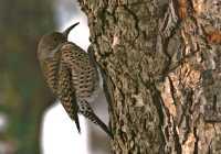 Woodpecker, Vancouver, British Columbia, Canada CM11-23