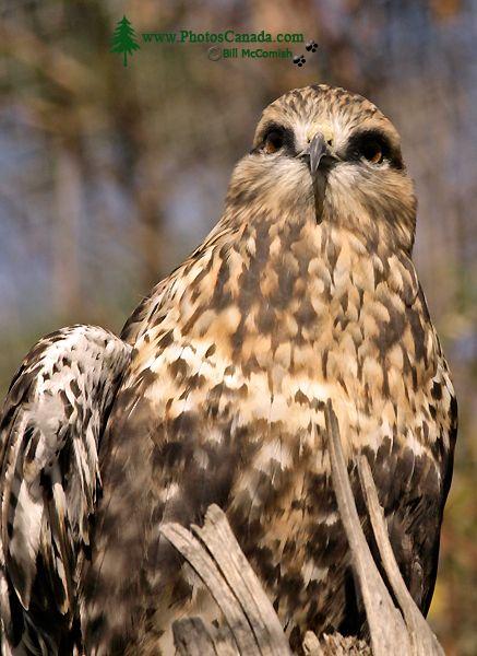 Red Tail Hawk, Calgary Zoo, Alberta CM11-02