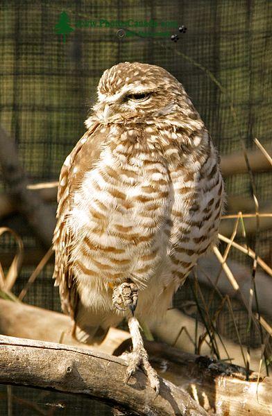 Hawk, Calgary Zoo, Alberta CM11-03