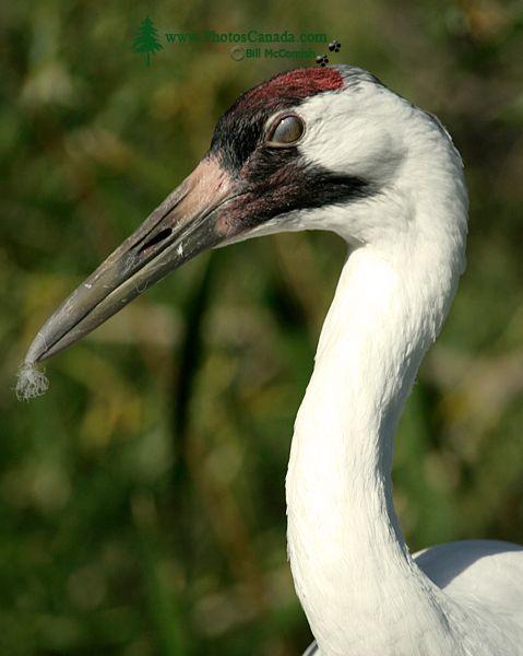 White Sandhill Crane, Calgary Zoo, Alberta CM11-05