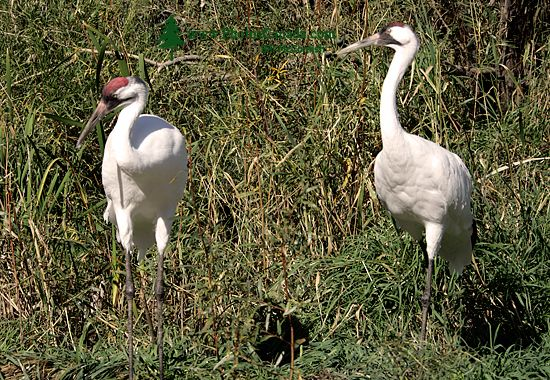 White Sandhill Cranes, Calgary Zoo, Alberta CM11-04