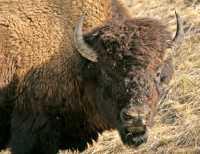 Bison, Northern British Columbia CM-15