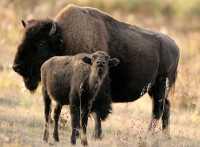 Bison Mother and Calf, Elk Island National Park, Alberta CM-12