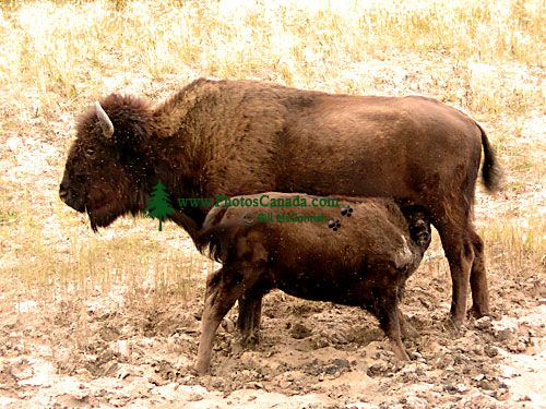 Bison and Calf 05