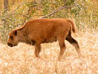 Bison Brown Calf 04