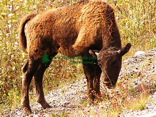 Bison Calf 08