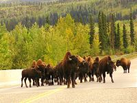 Highlight for Album: Bison, Buffalo, Photos, Canadian Wildlife Stock Photos