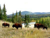 Liard River Bison Herd, Northern British Columbia, Canada 14