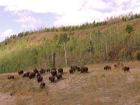 Bison Herd 10