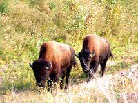 Bison 09