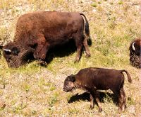 Bison and Calf 07